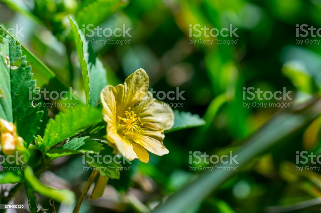 close up of a tiny yellow flower on a weed growing in green grass stock photo
