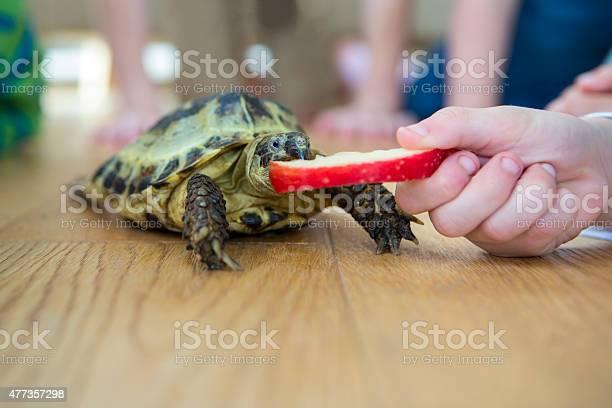 Close up of a tortoise eating an apple picture id477357298?b=1&k=6&m=477357298&s=612x612&h=mkd8xx3vrhqeu4bcfjesgcjkssn45nupouxrpwrsbuq=