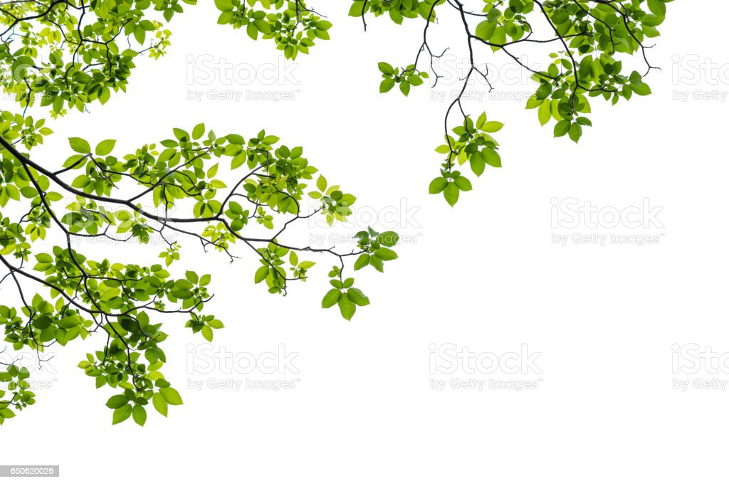 Close up of a tree branch isolated on white background stock photo