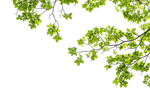 Close up of a tree branch on white background