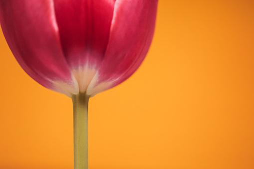 Close up of a Tulip flower over orange background