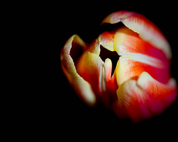 Close up of a tulip stock photo