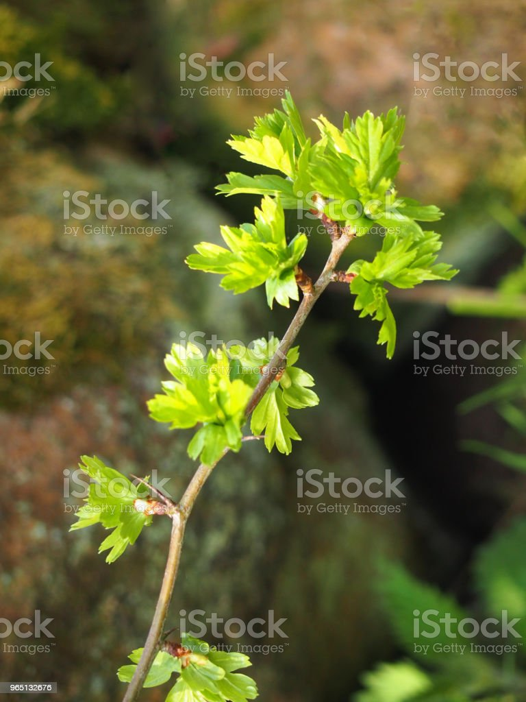 close up of a twig of the common hawthorn with budding bright green spring leaves royalty-free stock photo
