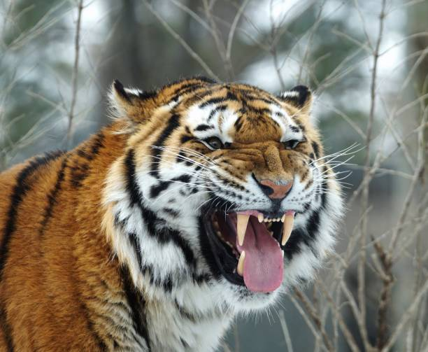 Close up of a very angry siberian tiger showing fangs and tongue on a forest background Close up of a very angry siberian tiger showing fangs and tongue on a forest background fang stock pictures, royalty-free photos & images