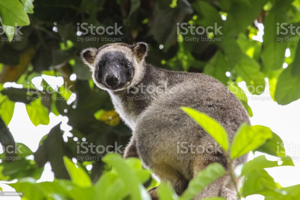 Close up of a very rare Lumholtz tree kangaroo climbing up a tree in the rainforest, facing – Foto