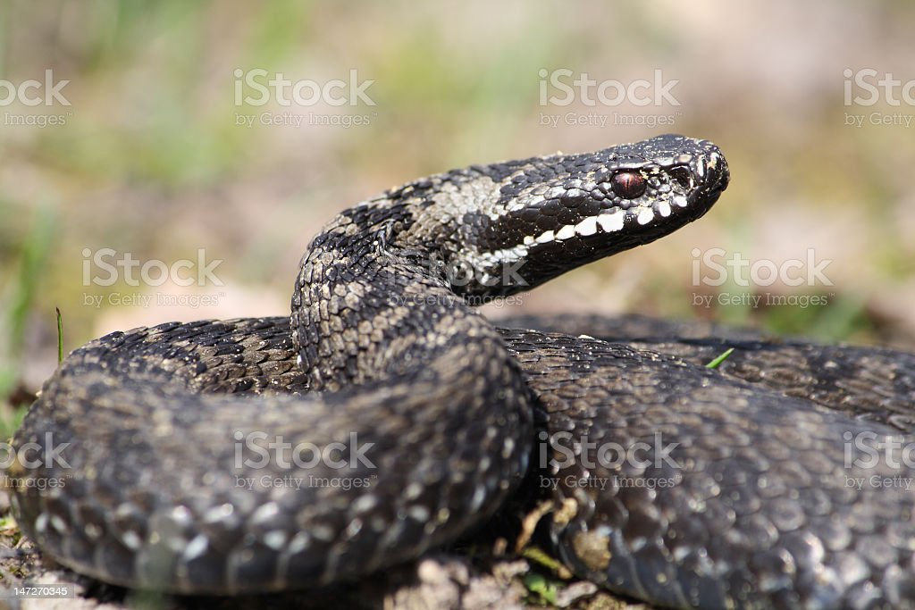 A close up of a Vipera Berks as it gets ready to strike stock photo