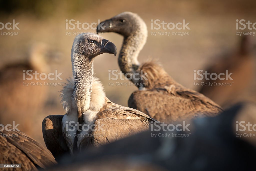 Close up of a vulture stock photo