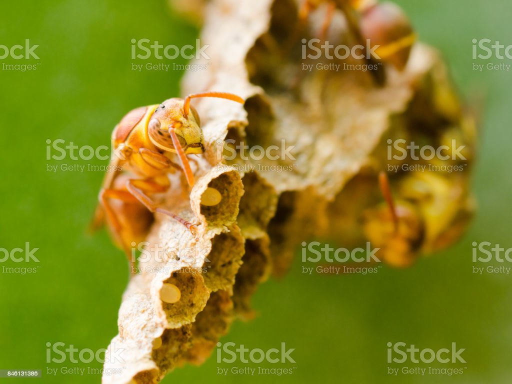 Close up of a wasp on its nest with eggs in it stock photo