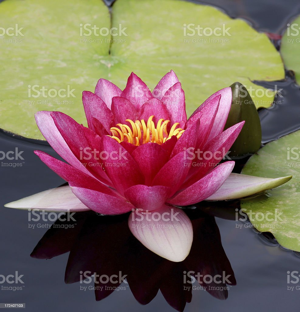 close up of a water lily royalty-free stock photo