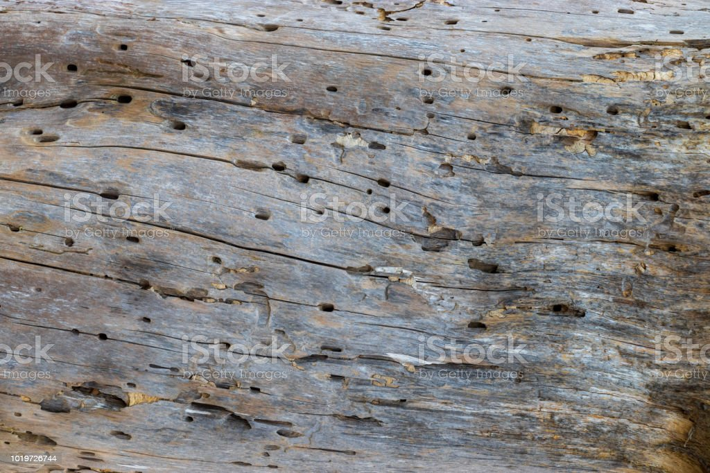 A close up of a weathered driftwood log with termite holes. stock photo