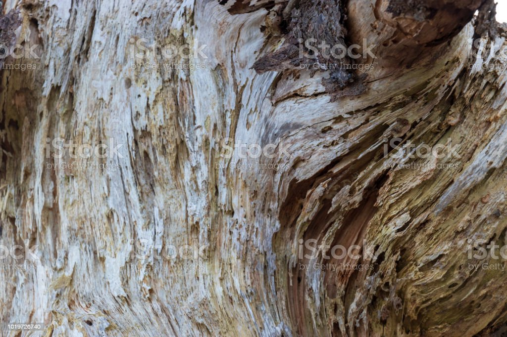 A close up of a weathered driftwood tree trunk. stock photo