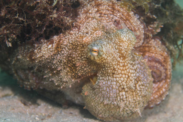 Close  up of a well camouflaged Common Octopus stock photo
