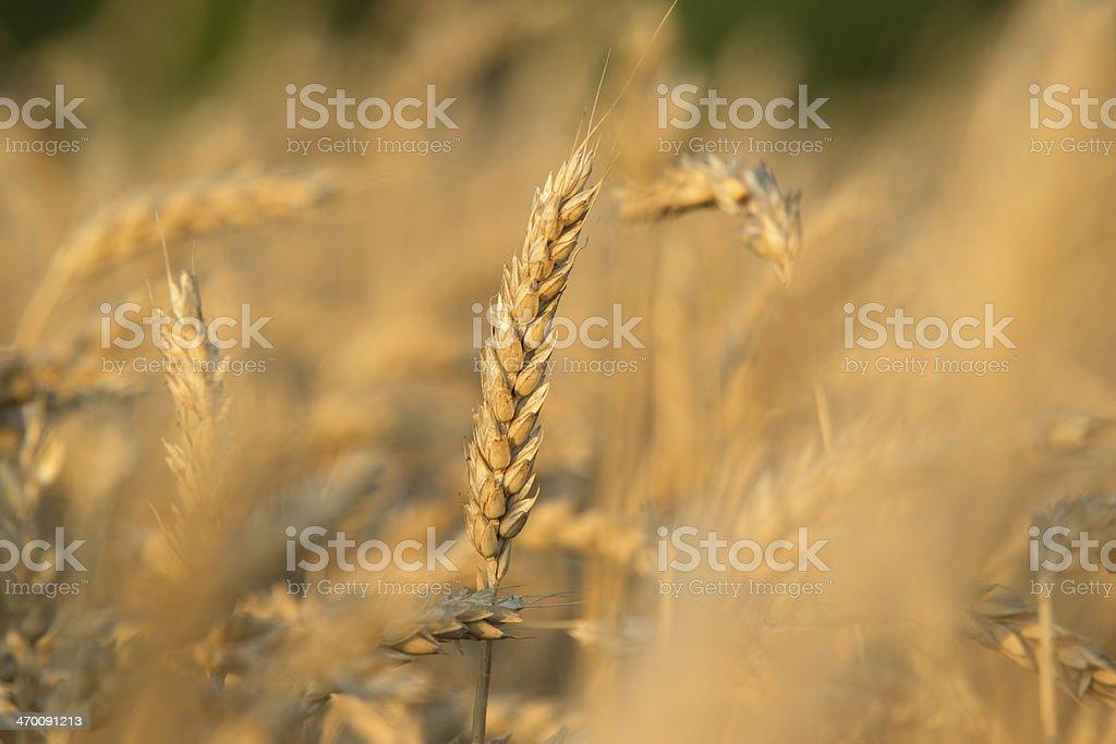 Close up of a Wheat Pod stock photo