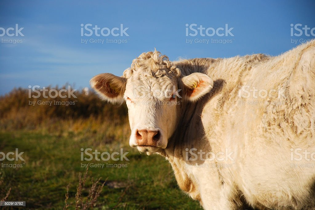 Close up of a white cow stock photo