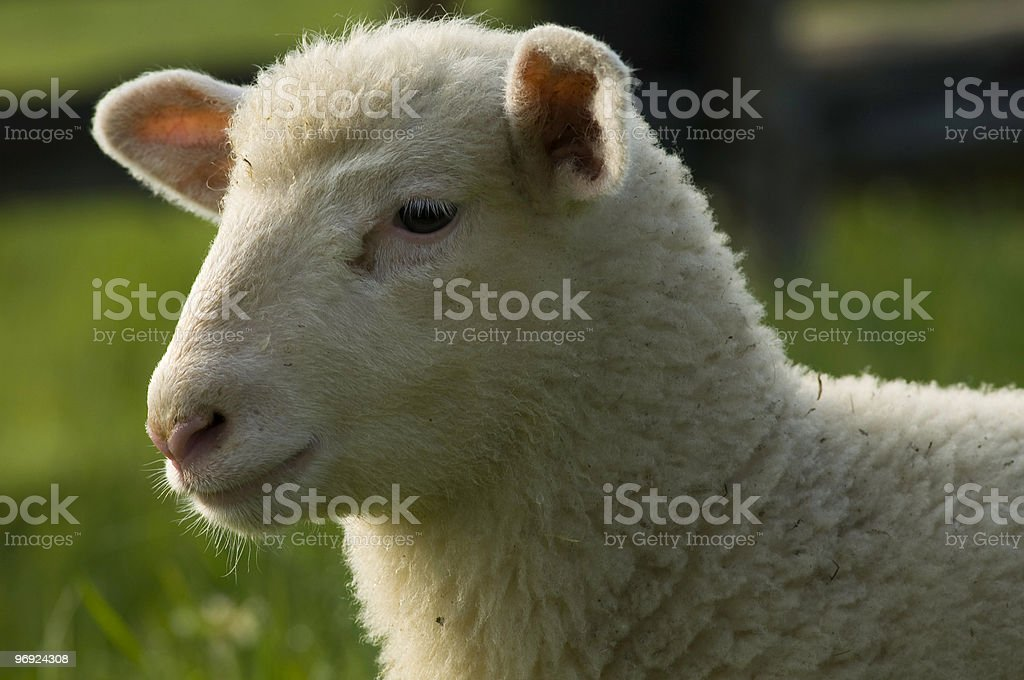 Close up of a white lamb royalty-free stock photo