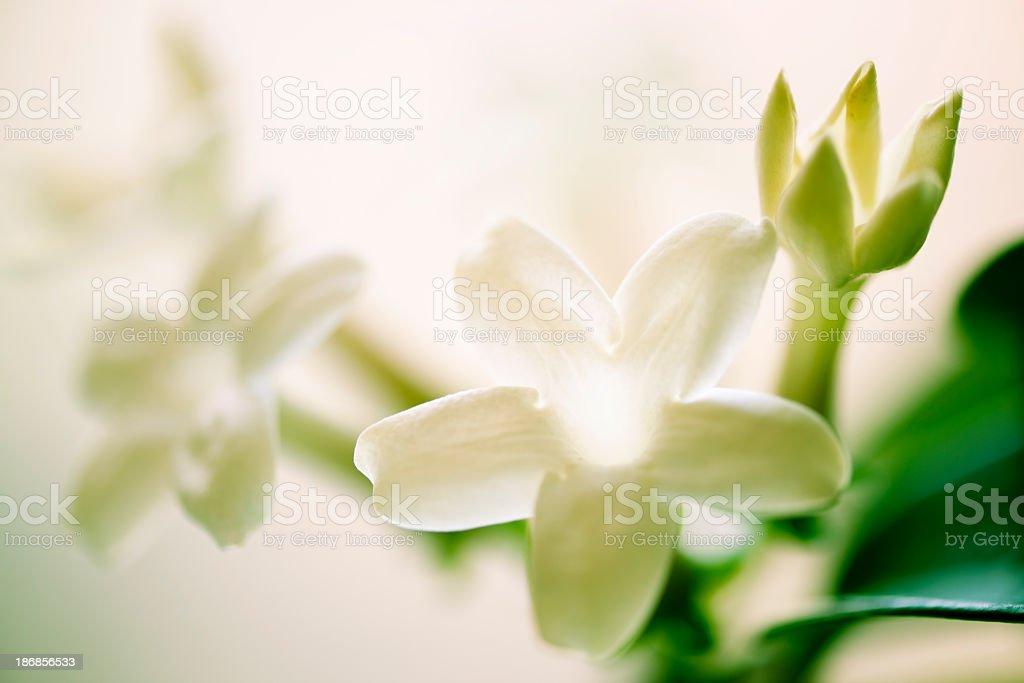 Close up of a white Madagascar jasmine flower stock photo