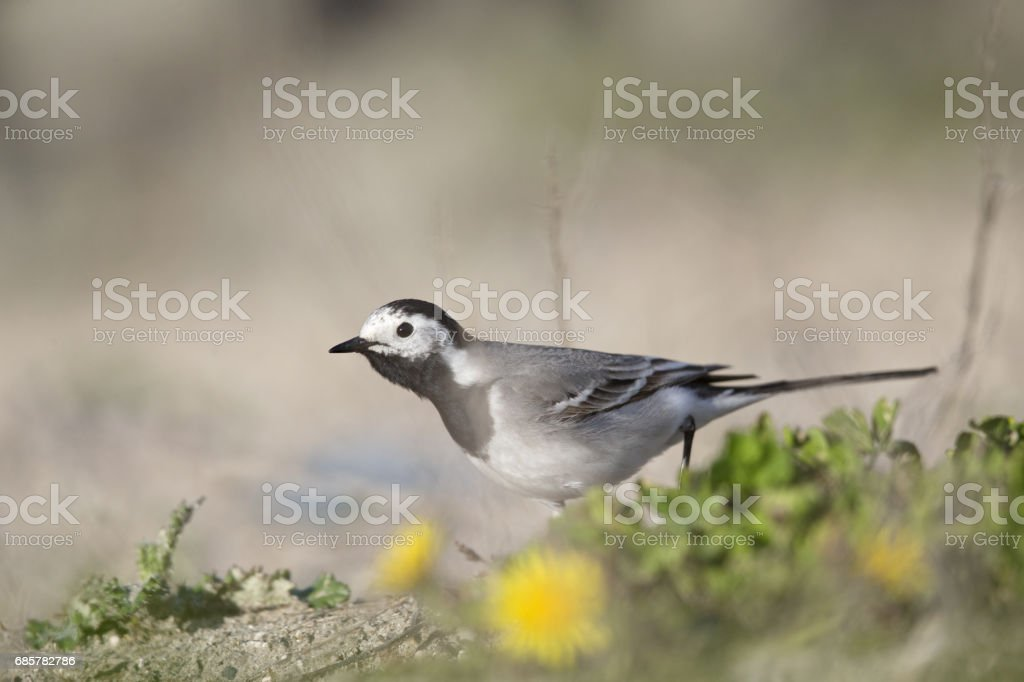 Close up of a  white wagtail (Motacilla alba) chasing after flies royalty-free stock photo