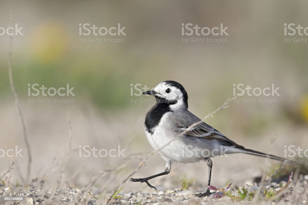 Close up of a  white wagtail (Motacilla alba) chasing after flies Lizenzfreies stock-foto