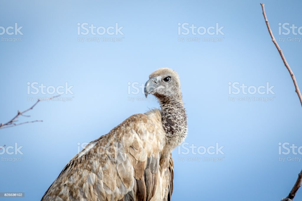 Close up of a White-backed vulture. stock photo