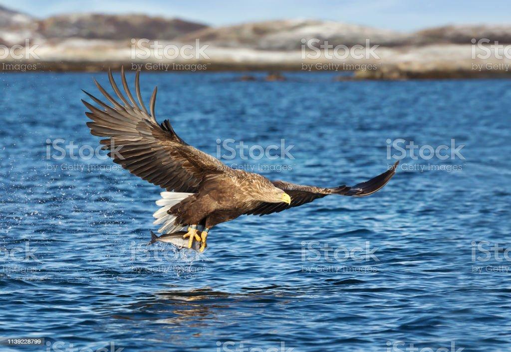 魚を捕まえる白い尾の海の鷲の接写 - つかまえるのストックフォトや ...