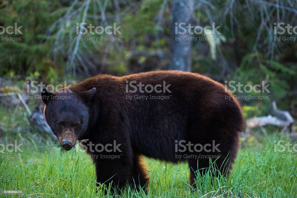 Close up of a wild Black Bear stock photo