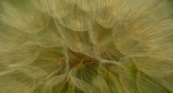 Tragopogon pratensis, blowball seed, Tragopogon, meadow salsify
