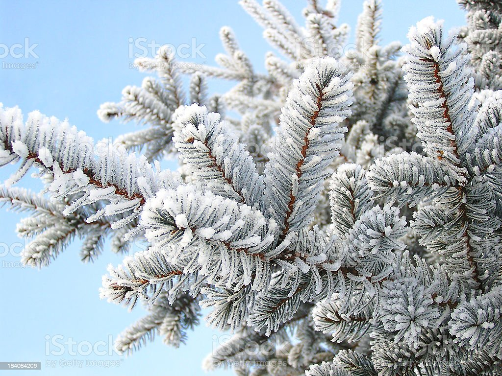 A close up of a winter fir-tree branch royalty-free stock photo