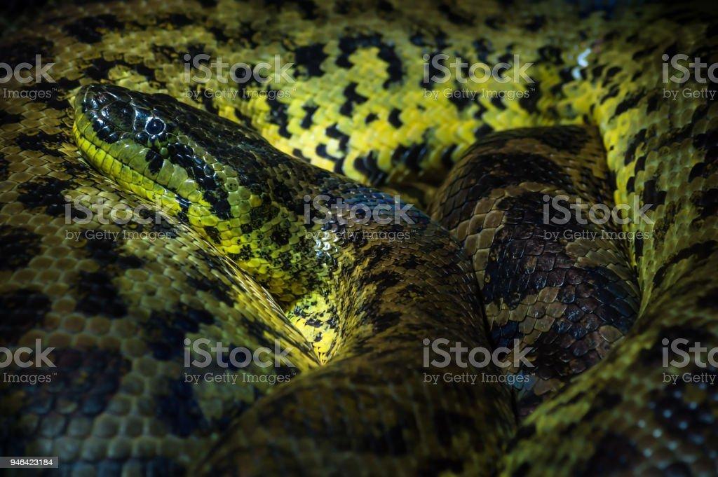 Close up of a Yellow ananaconda rolled up in Haus der Natur, Salzburg – zdjęcie