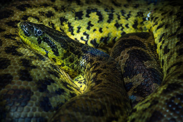Close up of a Yellow ananaconda rolled up in Haus der Natur, Salzburg stock photo