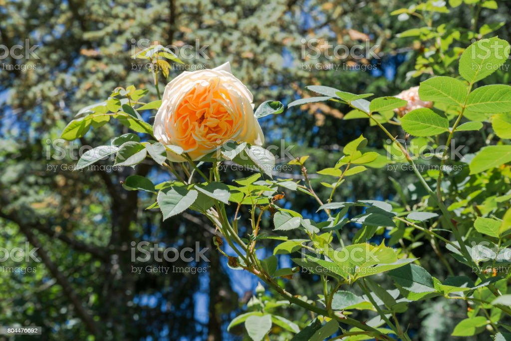 Close up of a yellow rose flower in a garden stock photo