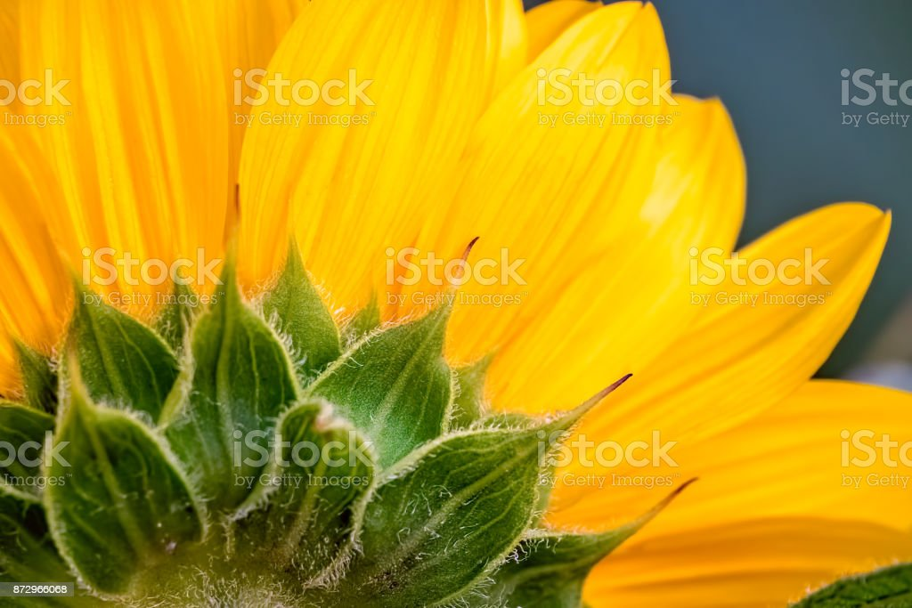 Close up of a yellow sunflower head stock photo