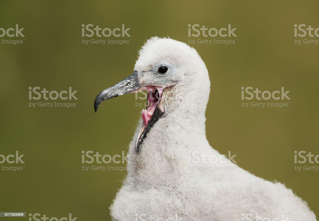 Cerca de una joven chica de Albatross negro-browed llamando y pidiendo comida - foto de stock