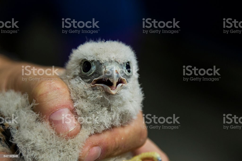 Close up of a young common kestrel in the hand. stock photo