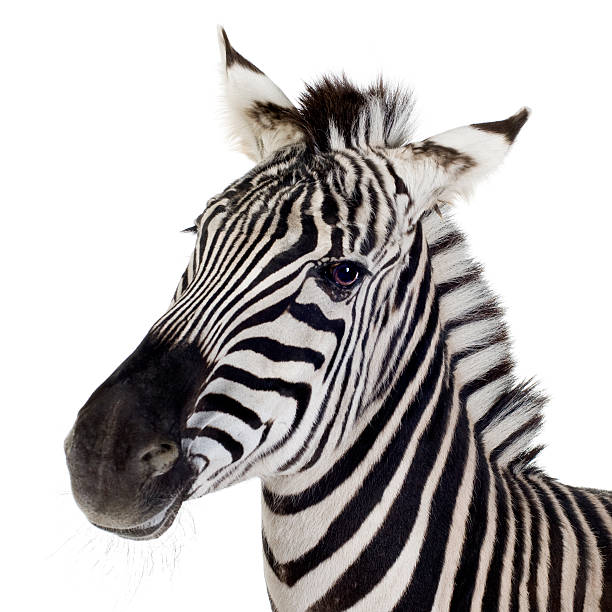 close up of a zebra on a white background - zebra stock photos and pictures