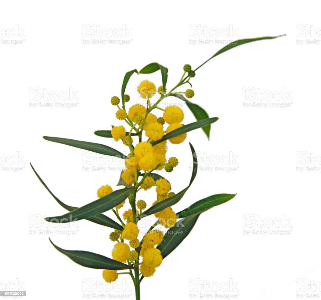 Close up of Acacia saligna - Royalty-free Acacia Tree Stock Photo