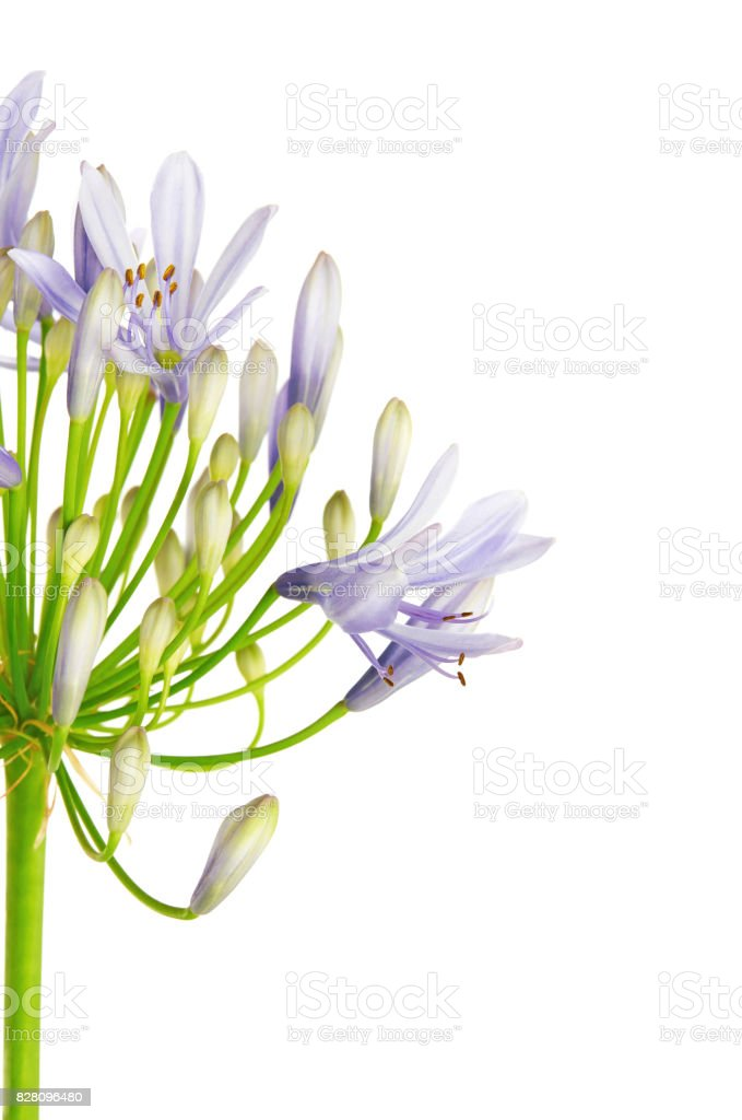Close up of Agapanthus flower 'Lily of the Nile', also called African Blue Lily flower, in purple-blue shade isolated on white background stock photo