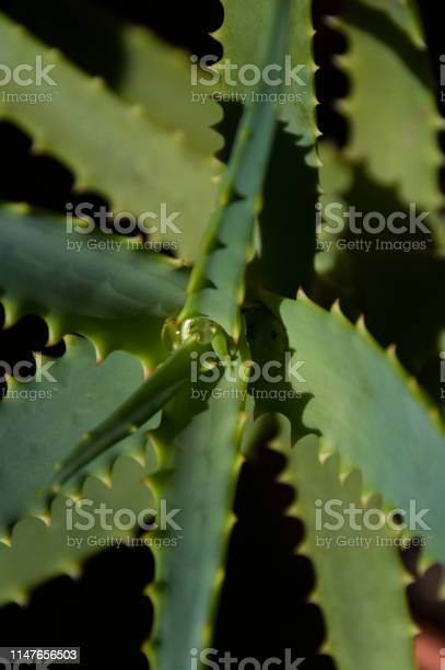 Photo of Close up of aloe plant leaves with water drop in the middle