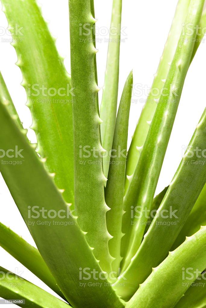 Gros plan d'Aloe Vera avec un Tracé de détourage - Photo