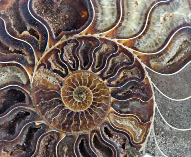 Nahaufnahme von Ammoniten fossil – Foto