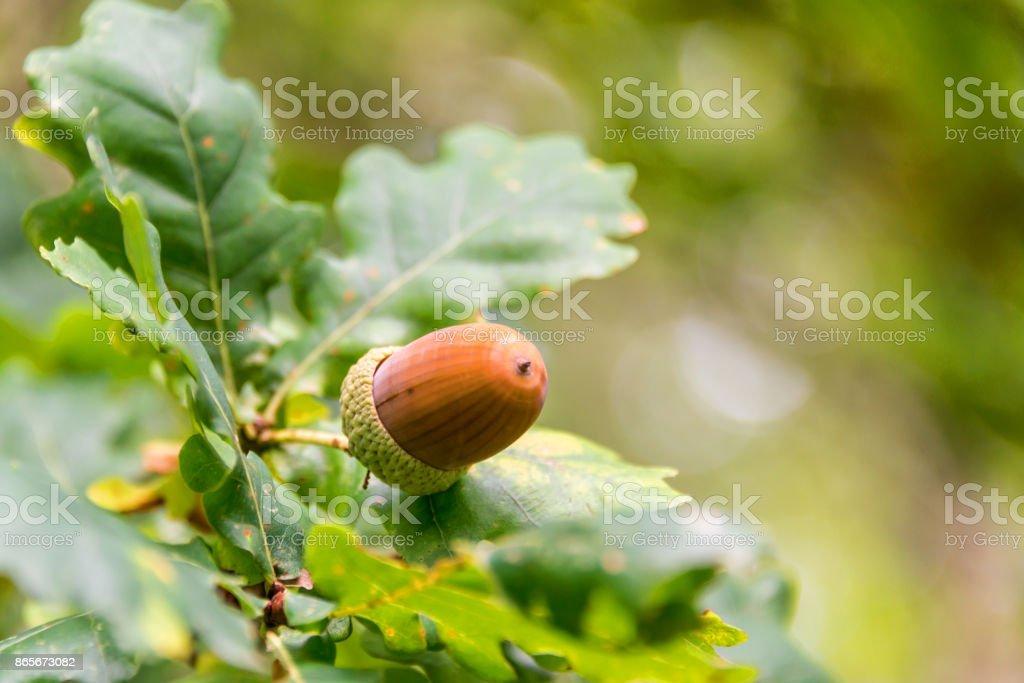 Fechar de uma bolota em um galho de uma árvore de carvalho em uma floresta no outono - foto de acervo