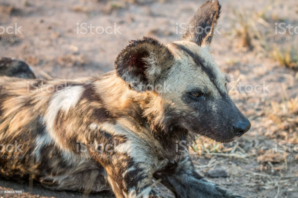 Close up of an African wild dog. stock photo