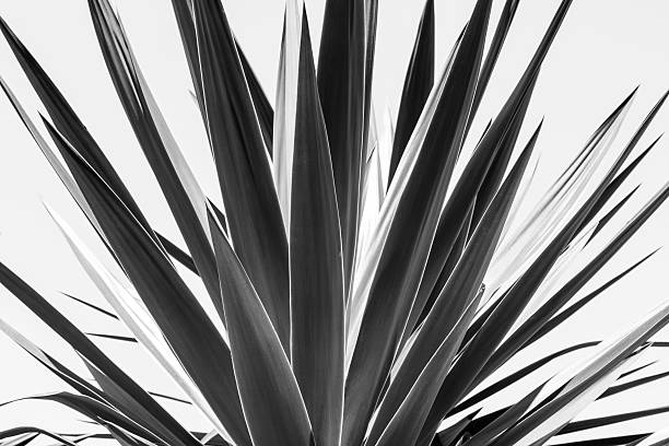 close up of an agave, black and white version stock photo