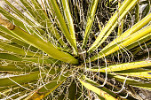 Close up of an agave plant in Red Rock Canyon National Conservation Area