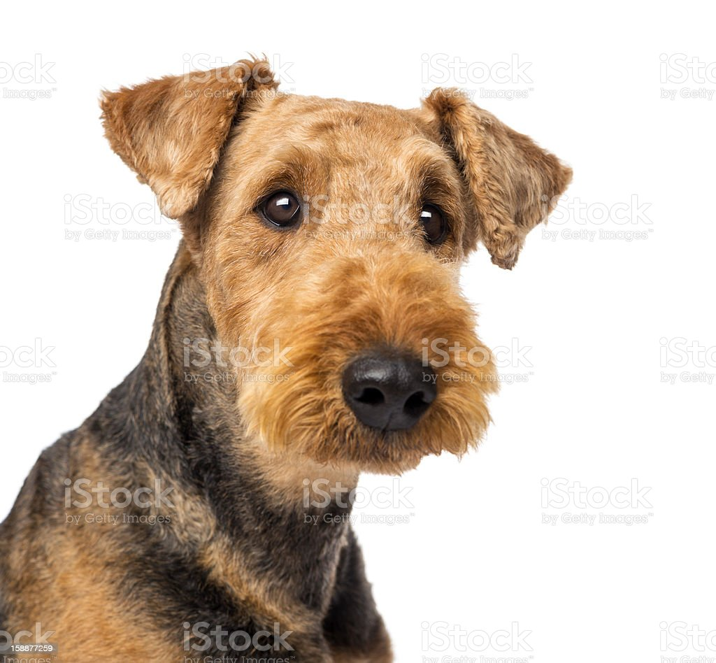 Close up of an Airedale Terriers looking at camera stock photo