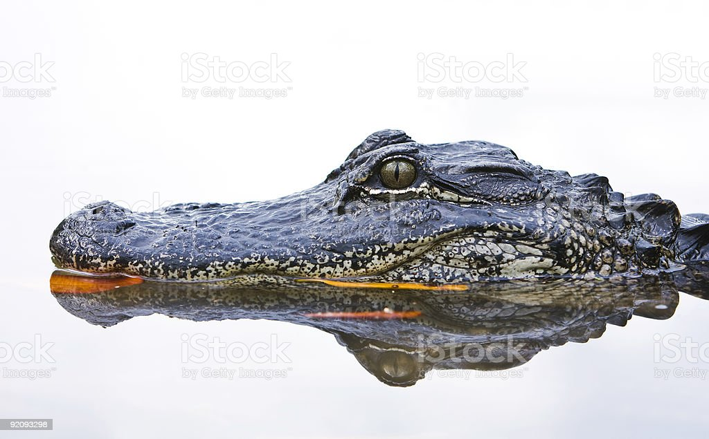 Close up of an Alligator in the water stock photo