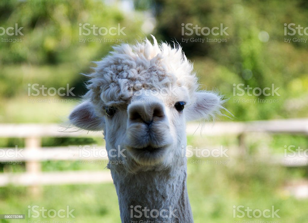 Close up of an alpaca - foto de stock