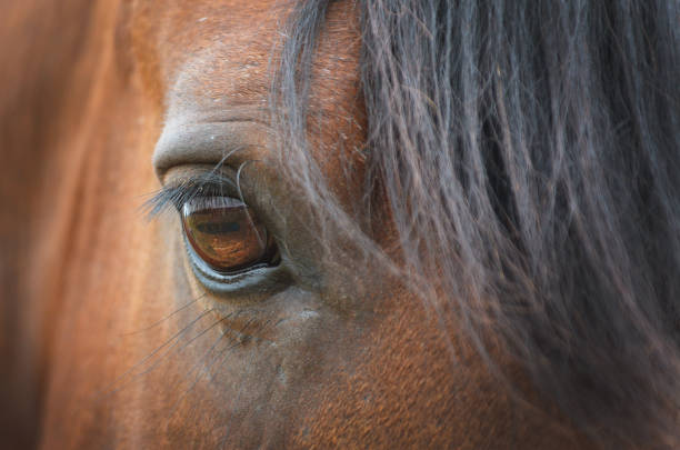 Close up of an amber colored horse eye with long lashes of brown stallion horse animal eye stock pictures, royalty-free photos & images
