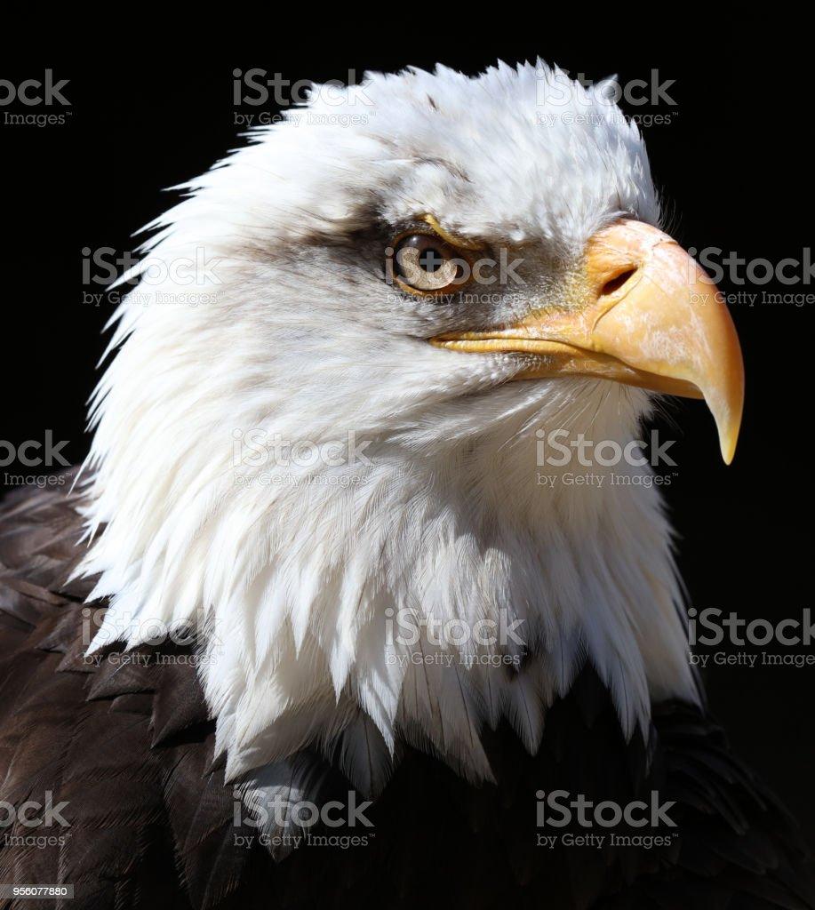 Gros plan d'un American Bald Eagle - Photo