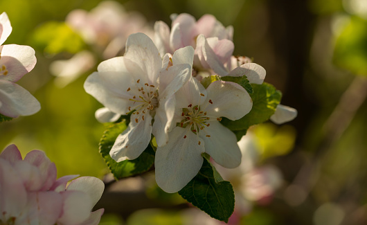 Close up of an apple blossom