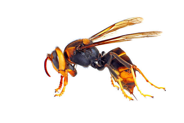 close up of an asian hornet against white background - east asian ethnicity stock photos and pictures